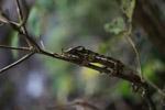 Amber Mountain Panther chameleon (Furcifer pardalis) [madagascar_3309]