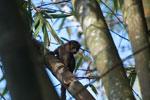 Crowned lemur (Eulemur coronatus) [madagascar_3340]