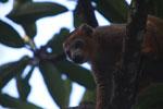 Male Crowned lemur (Eulemur coronatus) [madagascar_3344]