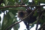 Sanford's Brown Lemur (Eulemur sanfordi) [madagascar_3345]