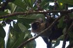 Sanford's Brown Lemur (Eulemur sanfordi) [madagascar_3347]