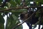 Sanford's Brown Lemur (Eulemur sanfordi) [madagascar_3350]