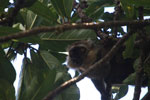 Sanford's Brown Lemur chewing