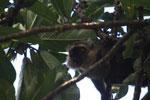 Sanford's Brown Lemur chewing