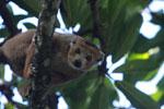 Male Crowned lemur (Eulemur coronatus) [madagascar_3358]