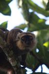 Sanford's Brown Lemur (Eulemur sanfordi) [madagascar_3364]