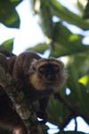 Sanford's Brown Lemur (Eulemur sanfordi) [madagascar_3365]