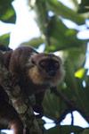 Sanford's Brown Lemur (Eulemur sanfordi) [madagascar_3366]