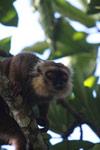 Sanford's Brown Lemur (Eulemur sanfordi) [madagascar_3367]