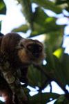 Sanford's Brown Lemur (Eulemur sanfordi) [madagascar_3369]
