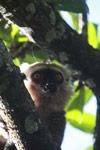 Sanford's Brown Lemur (Eulemur sanfordi) [madagascar_3373]