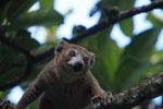 Crowned lemur (Eulemur coronatus) [madagascar_3385]