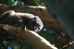 Collared Brown Lemur (Eulemur collaris) outside it range, its orgin a mystery