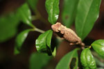 Plated Leaf Chameleon (Brookesia stumpffi) [madagascar_3431]