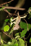 Speartail Leaf-tail Gecko (Uroplatus ebenaui)