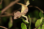 Spearpoint Leaf-tail Gecko (Uroplatus ebenaui) [madagascar_3449]