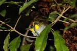 Madagascar White-eye (Zosterops maderaspatanus)