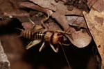 Cricket (Stenopelmatus?) [madagascar_3488]