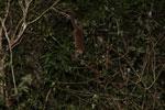 Fat-tailed Dwarf Lemur (Cheirogaleus medius) [madagascar_3490]