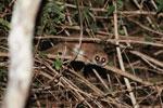 Fat-tailed Dwarf Lemur (Cheirogaleus medius) [madagascar_3494]