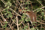 Fat-tailed Dwarf Lemur (Cheirogaleus medius) [madagascar_3496]