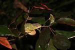 Panther chameleon (Furcifer pardalis) sleeping [madagascar_3505]