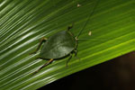 Leaf-mimicking treehopper [madagascar_3521]