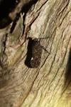 Lantern bug [madagascar_3526]