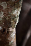 Mossy Leaftail Gecko (Uroplatus sikorae) [madagascar_3540]