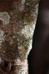 Mossy Leaftail Gecko (Uroplatus sikorae) [madagascar_3542]
