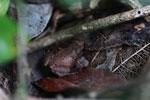 Frog [madagascar_3554]