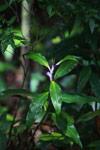 Commelinaceae family [madagascar_3564]