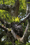 Birdnest fern in the rainforest canopy