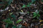 Mantidactylus asper? [madagascar_3595]
