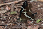 Swallowtail butterfly [madagascar_3601]
