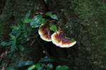 Brown, orange, and white fungi