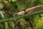 Blue-nosed Chameleon (Calumma boettgeri) [madagascar_3663]