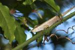 Blue-nosed Chameleon (Calumma boettgeri) [madagascar_3666]