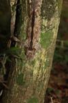 Mossy Leaftail Gecko (Uroplatus sikorae) [madagascar_3714]