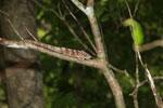 Amber Mountain chameleon (Calumma ambreense) [madagascar_3716]
