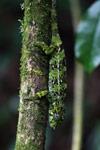 Amber Mountain chameleon (Calumma ambreense) [madagascar_3720]