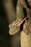 Mossy Leaftail Gecko (Uroplatus sikorae) [madagascar_3739]