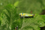 Yellow leafhopper