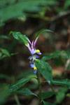 Commelinaceae family [madagascar_3747]
