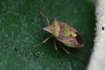 Shield bug [madagascar_3752]