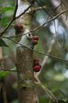 Red cauliflorous fruit