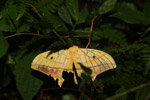Comet moth with damaged wings [madagascar_3765]