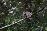 Crowned lemur feeding [madagascar_3772]