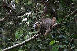 Crowned lemur feeding [madagascar_3790]