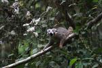 Crowned lemur feeding [madagascar_3794]